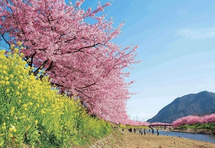 Kawazusakura, sakura, jepang