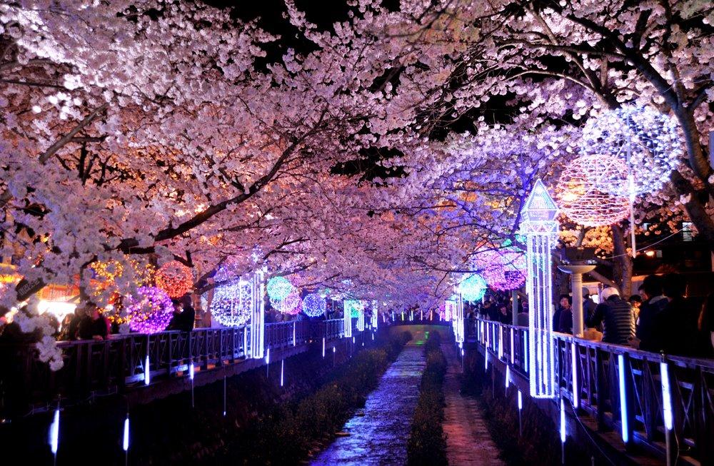 keindahan bunga sakura di malam hari