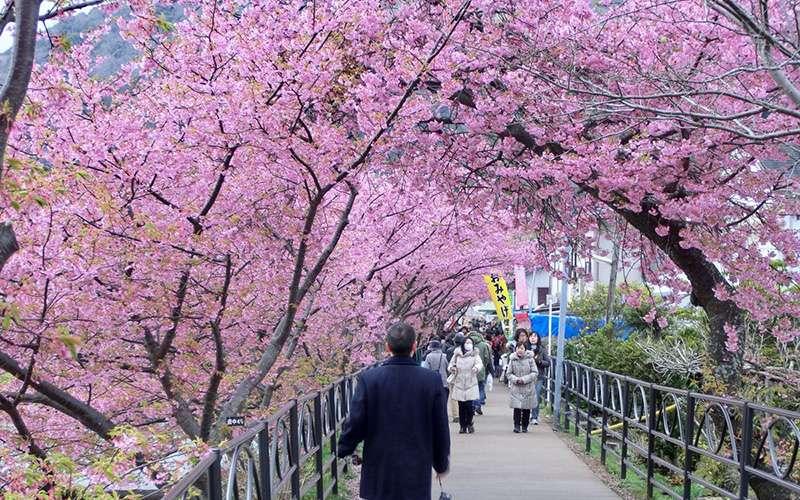 tour sakura