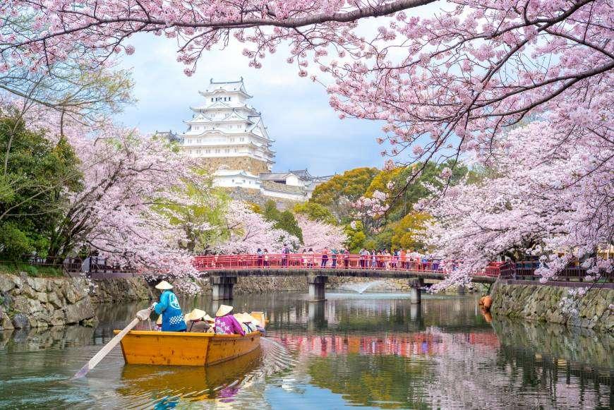 wisata bunga sakura