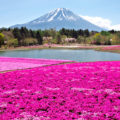 Shibazakura, hamparan bunga pink bak Negri Dongeng